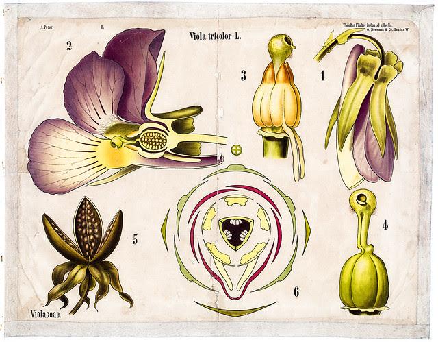 Flower – Violaceae (Viola tricolor)