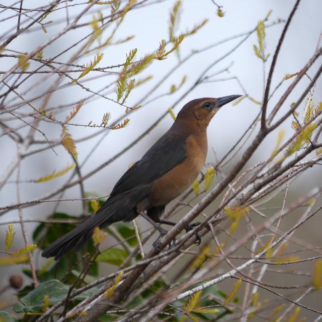 Ed Gaillard: birds &emdash; Boat-Tailed Grackle, Green Cay