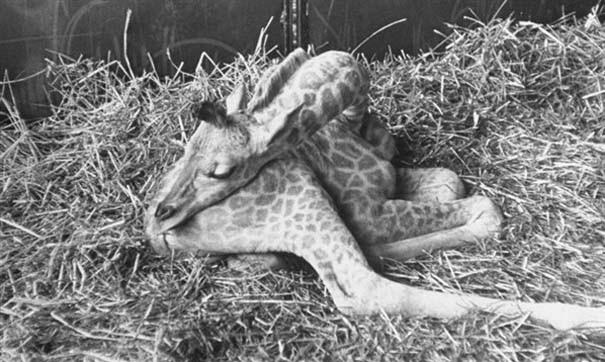 Ζώα που κοιμούνται περίεργα (5)