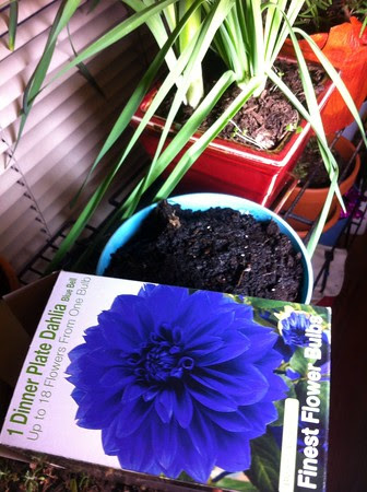 Feb 16; how long will it take the blue dahlia to bloom???