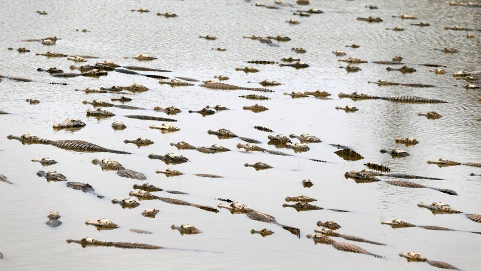 Laguna llena de caimanes que buscan agua a raíz de la sequía en la cuenca del Río Pilcomayo. Foto: Reuters / Jorge Adorno