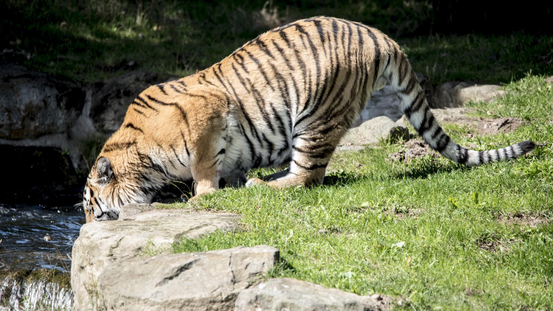 Tiger Predator River Thirst [1920x1080]