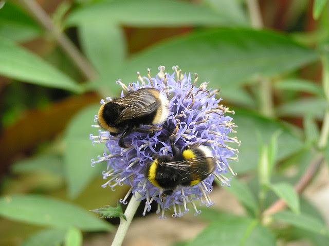 Bumblebees, Bombus bohemicus & Bombus lucorum