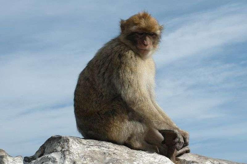 Macaque berbère. © lolaire, CC by-SA 2.0