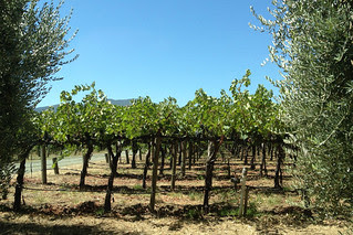 Honig Vineyard and Winery - Vines
