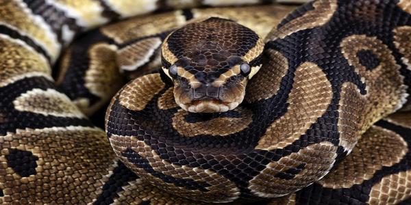 Python-regius