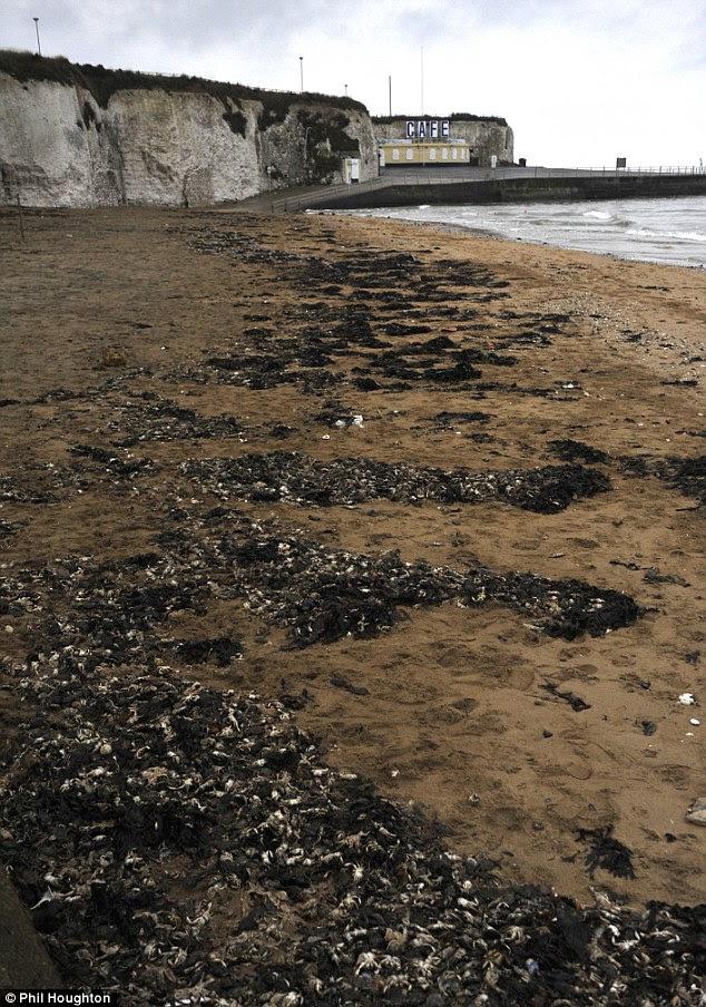 Miles de ellos: Los cangrejos varado en la playa de Palm Bay, Margate, se cree que han muerto de hipotermia. más fríos de Gran Bretaña de diciembre en 120 años la temperatura del mar a la izquierda mucho más bajo que el promedio