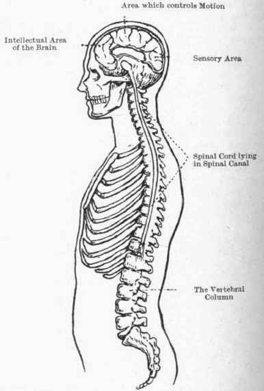The Spinal Cord: What Happens If You Cut The Spinal Cord