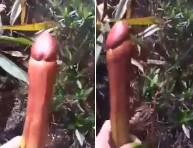 Planta Pênis