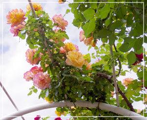 もっと近くで見たかった、美しいグラデーションの薔薇。