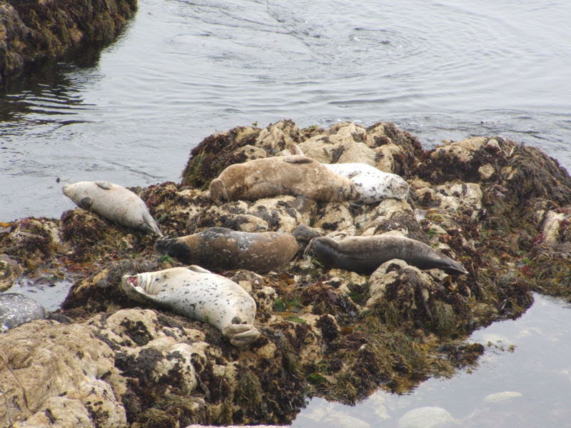 File:Harbor Seal (Phoca vitulina) 03.jpg