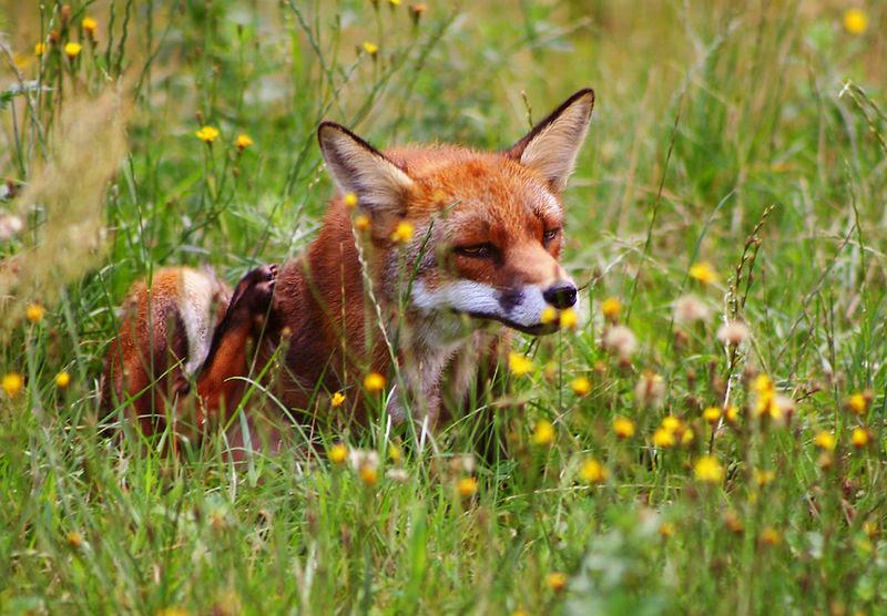 File:Rød ræv (Vulpes vulpes) scratching.jpg
