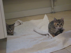 Kittens in the Towel