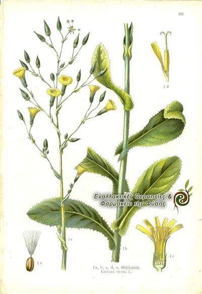 Βοτανικά χαρακτηριστικά αγριομάρουλου lactuca virosa