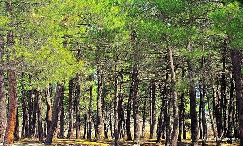 pinares de la Jarosa. Guadarrama
