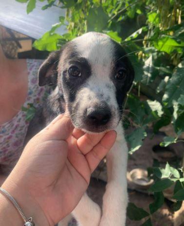 Sadie – 2 month old female Cross-Breed