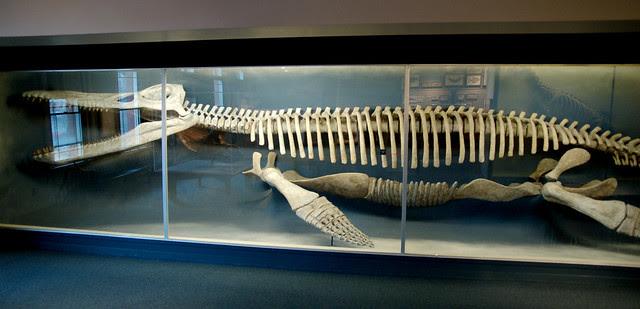 Kronosaurus Skeleton Kronosaurus Was A Pliosaur And The