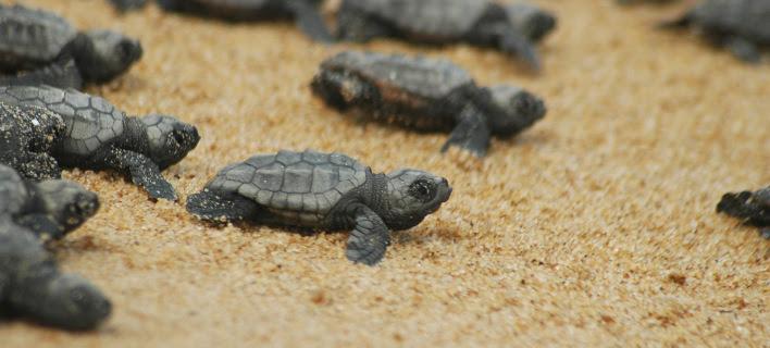 Νεογέννητα χελωνάκια βγαίνουν από τη φωλιά τους στη Ζάκυνθο [βίντεο]