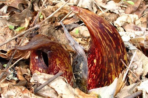 skunk cabbage spathes