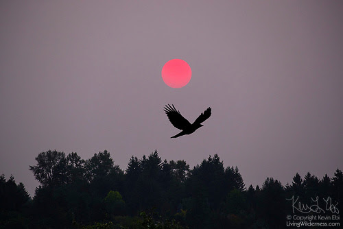 Crow and Hazy Sunrise, Bothell, Washington