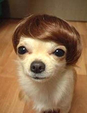 Chihuahua Hair Piece