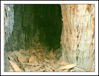 Hollow at base of fire-damaged Brown Stringbark