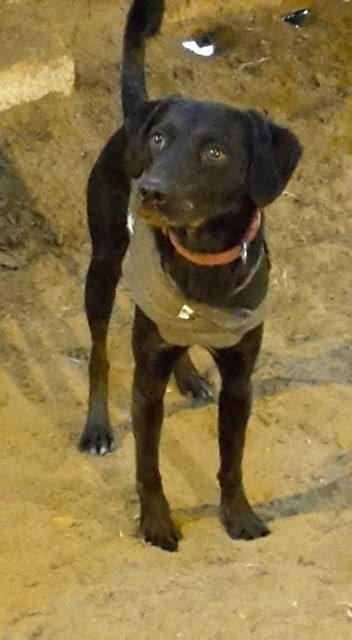 Benson – 17 month old male Pointer cross Labrador