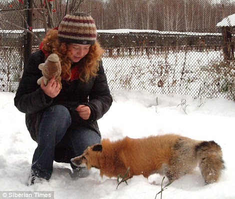 Stay: Anna demonstrates dog-like behaviour, a trait that the foxes at the institute she was born in share