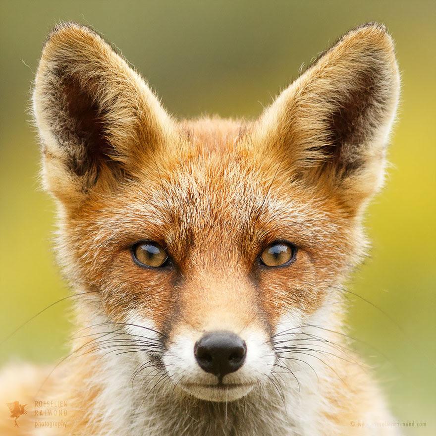 fox-faces-roeselien-raimond-hypno