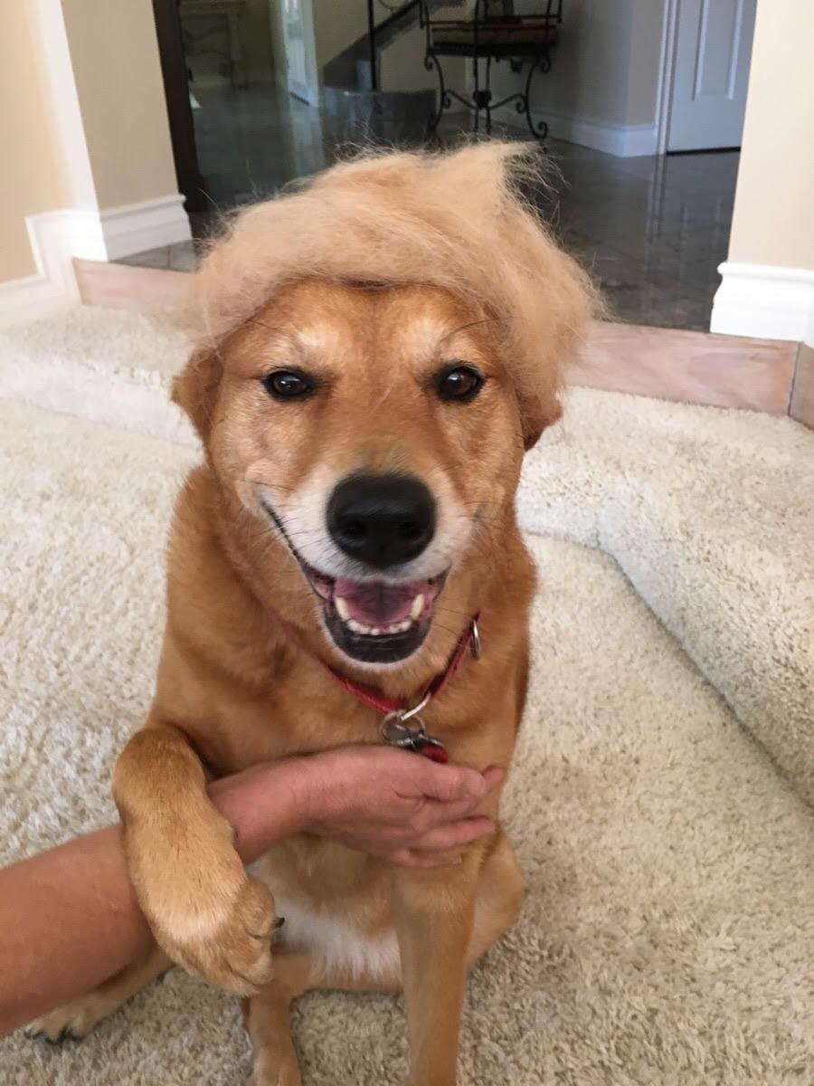 My dog sheds a lot, so we made a wig for her. We think she should ...
