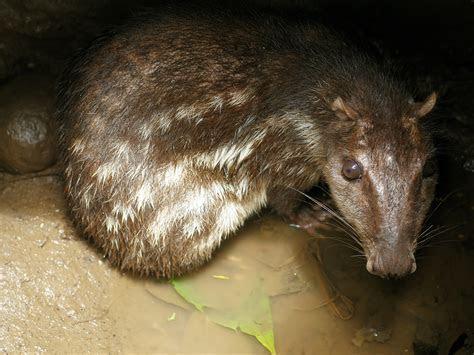 File:Cuniculus paca   Wikimedia Commons