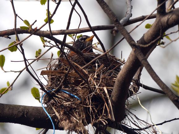 Ed Gaillard: recent &emdash; Robin on nest, Central Park