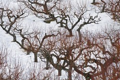 twisty-tree-orchard