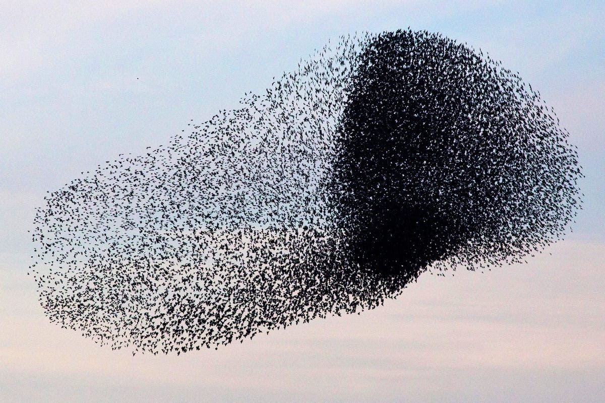 Other times, you'll see a densely packed group amidst the rest of the flock, like the darker clump toward the right of this murmuration: