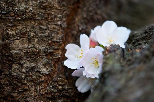 割れ目に桜