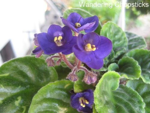 African Violets 1