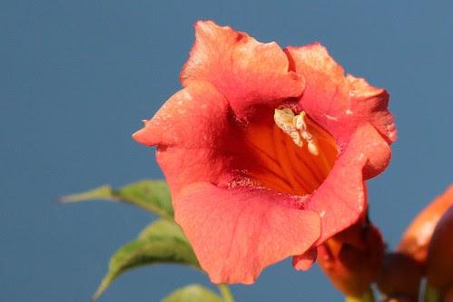 IMG_0486_Trumpet_Flower