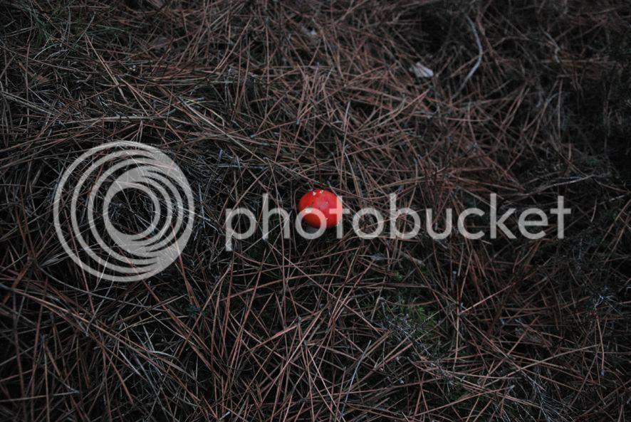 Amanite tue-mouches photo Chemin02_zps38f0f05f.jpg