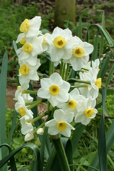 20060225-vs-8621 Jonquilh; Narciso - Narcissus cv.