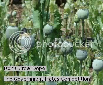 http://i676.photobucket.com/albums/vv126/kennyrk2/opiumpoppiesoregon.jpg?t=1248296289