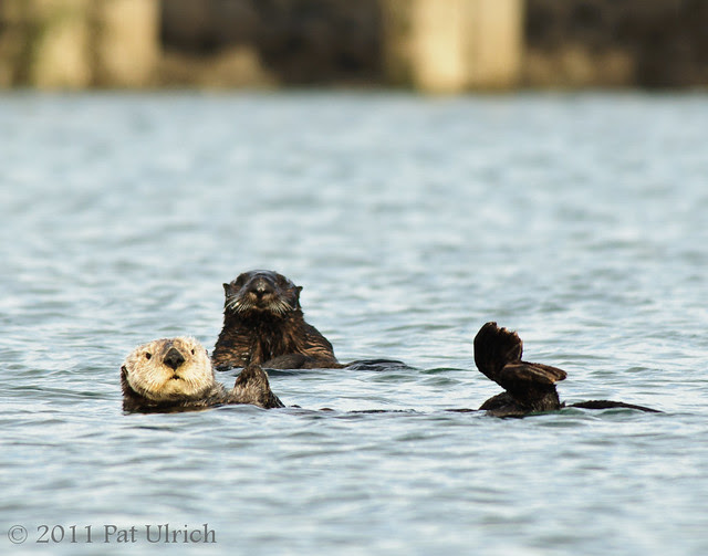 Southern sea otters at Moss Landing - Pat Ulrich Wildlife Photography