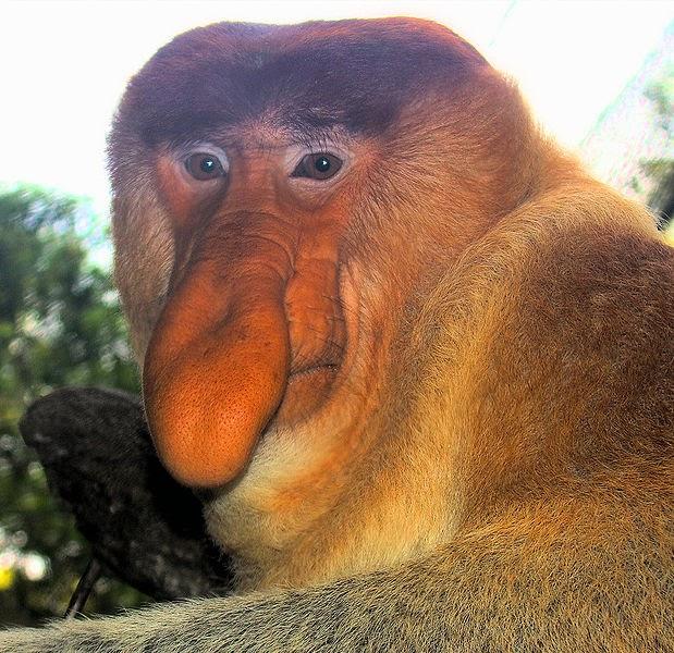 Οι μαϊμούδες με τη μεγάλη μύτη