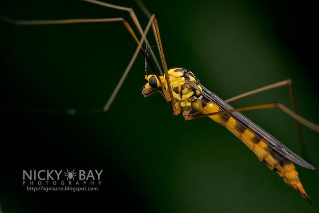 Crane Fly (Tipulidae) - DSC_2378