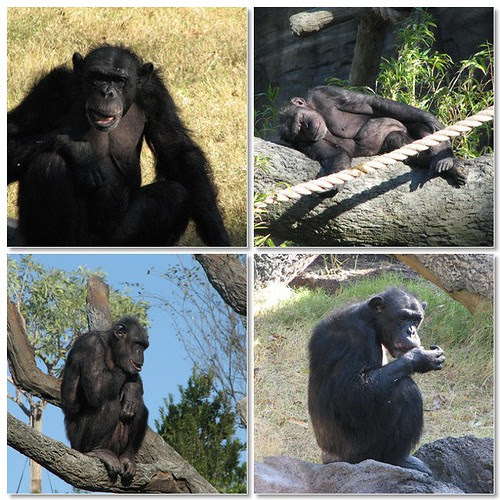 Mosaic chimps
