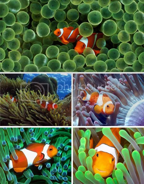 Clown Fish in Sea Anemonies Symbiosis