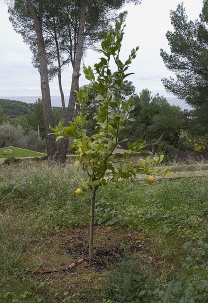 Mallorca, Port d'es Canonge, lemon tree