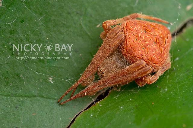 Orb Web Spider (Araneidae) - DSC_7389