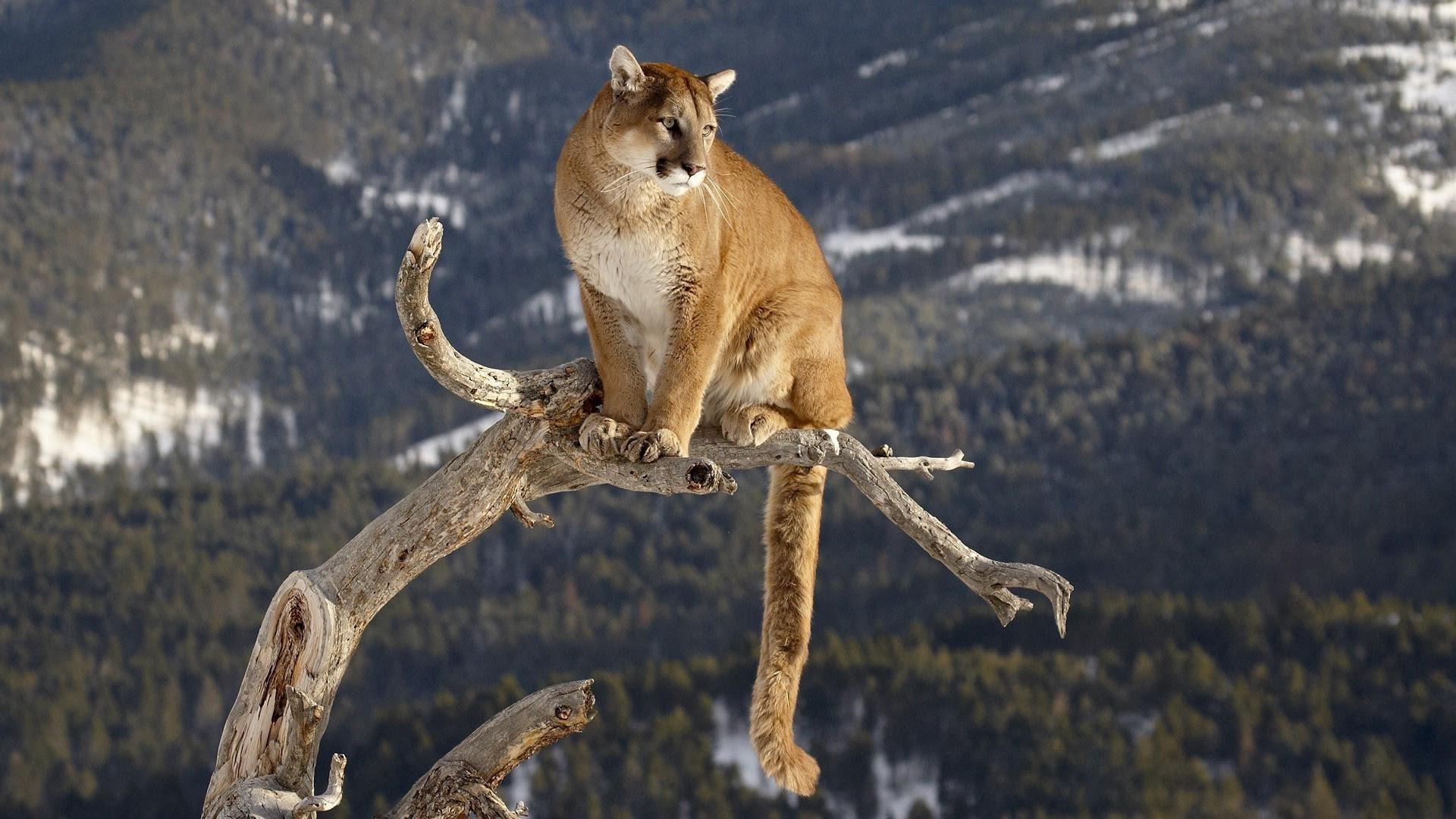Pumas Wallpaper (62+ images)