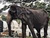 El cuerpo demacrado de una elefanta anciana oculto bajo un traje de fiesta, ya no puede más