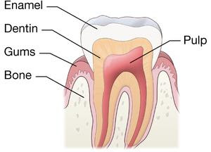 Normal tooth_1